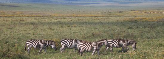 zebres lors d'un safari en tanzanie